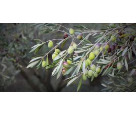 Sobre la promoción y difusión de la cultura del aceite de oliva