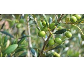 Los reglamentos y órdenes sobre la calidad del aceite de oliva